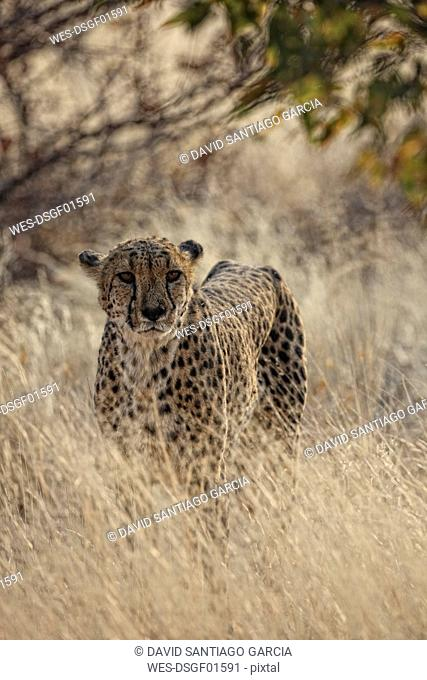 Namibia, portrait of a cheetah