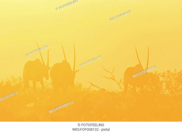 Namibia, Etosha National Park, silhouettes of three gemsboks by sunset