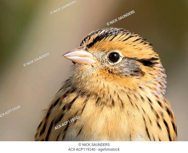 Portrait of a Le Conte's Sparrow, Toxostoma lecontei, perching in the grass in a Saskatoon marsh, in Saskatchewan, Canada