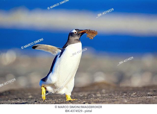 Gentoo penguin (Pygoscelis papua papua) carrying nesting material, Falkland Islands, South Atlantic