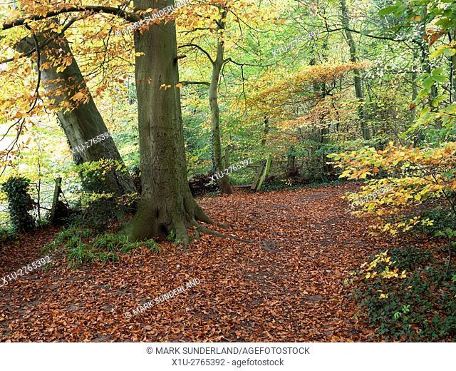 Path through Autumn Woodland in the Nidd Gorge at Knaresborough North Yorkshire England