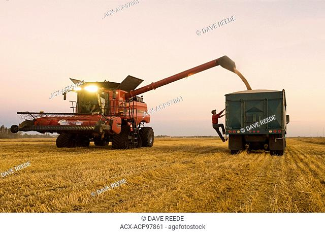 a man checks the load in the back of a red farm truck during the spring wheat harvest, near Dugald, Manitoba, Canada