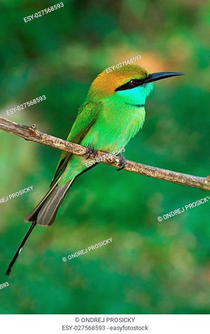Beautiful bird from Sri Lanka. Little Green Bee-eater, Merops or
