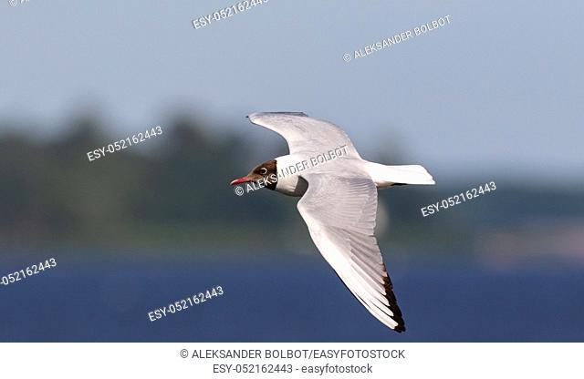 Black-Headed Gull (Chroicocephalus ridibundus) in flight against fuzzy water in summer, Podlasie Region, Poland, Europe