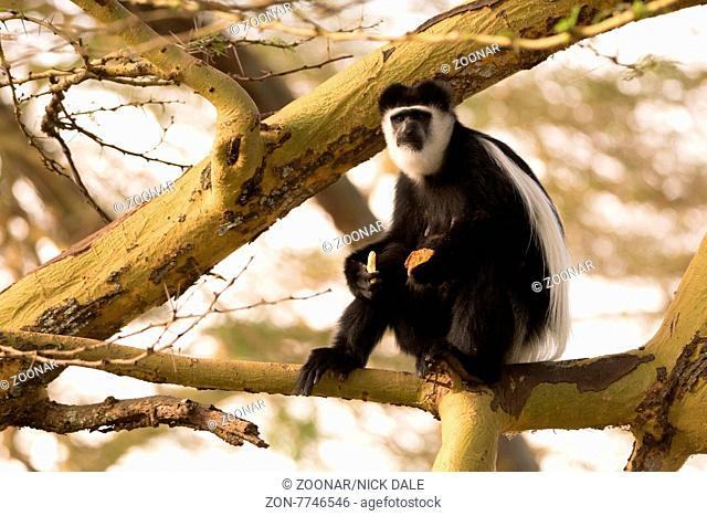 A black and white colobus monkey is sitting in a tree on a branch. It is holding two biscuits in its hands and looking into the distance