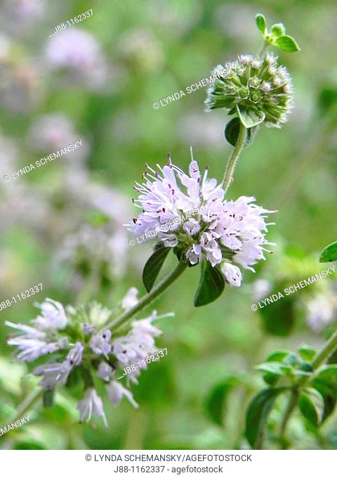 Pennyroyal English Pennyroyal, Mentha pulegium flowers