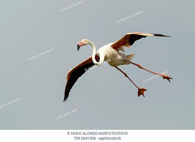 Greater flamingo in flight. Phoenicopterus roseus