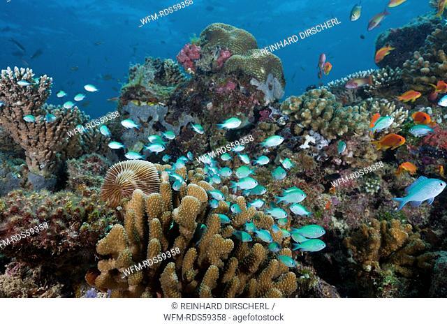 Reef with Chromis Fishes, Chromis viridis, North Ari Atoll, Maldives