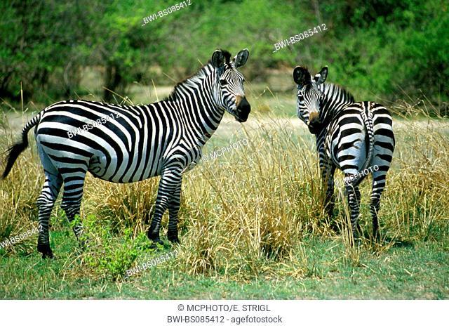 Boehm's zebra, Grant's zebra (Equus quagga boehmi, Equus quagga granti), zebras on a meadow in South Luangwa National Park, Zambia