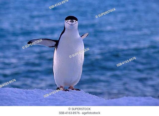 ANTARCTICA, SOUTH SHETLAND ISLANDS, PENGUIN ISLAND, CHINSTRAP PENGUIN
