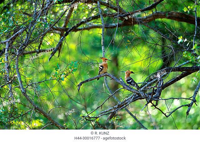 Eurasian Hoopoe, Upupa epops, Upupidae, Hoopoe, bird, animal, Sri Lanka