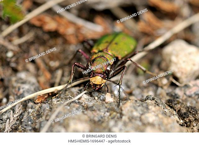 France, Haut Rhin, Hautes Vosges, Hohneck (1200 m), Tiger Beetle fields (Cicindele campestris) on a trail