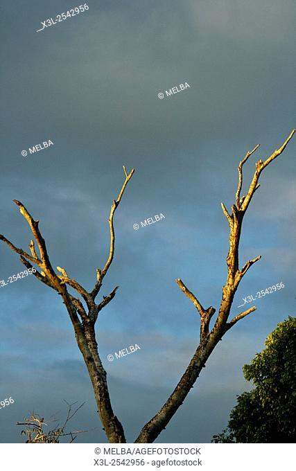 Amazon tree. Peru