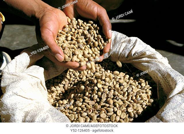 Coffe beans. Los Yungas, Bolivia