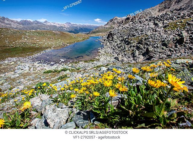 Blooming flowers surrounding Lej Furtschellas, Engadine, Switzerland Europe
