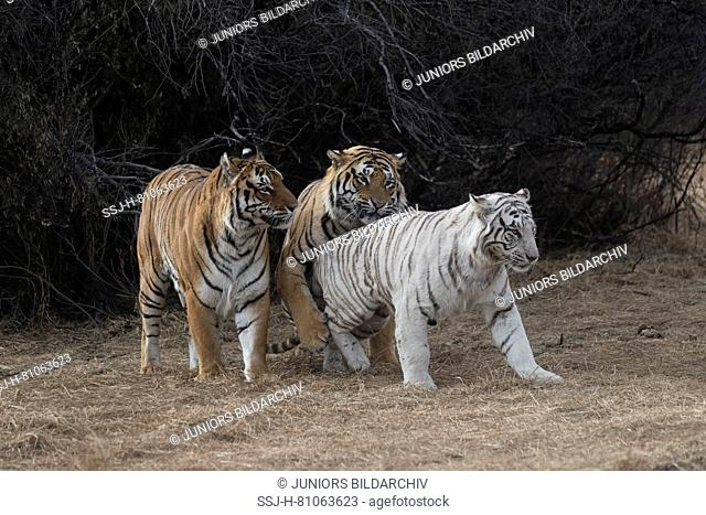 Asian (Bengal) Tiger (Panthera tigris tigris), two normal (males) and one white (female) in rutting period, one of the males is the white tigress's son and she...