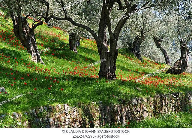 Poppy anemones (Anemone coronaria) in olive grove on Pelion Peninsula, Thessaly, Greece