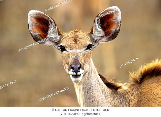 Kudu Tragelaphus strepciseros - Female, Kruger National Park, South Africa