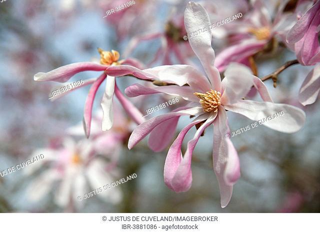 Flowering Magnolia, variety Leonard Messel, ornamental form, Magnolia hybrid (Magnolia x loebneri Leonard Messel)