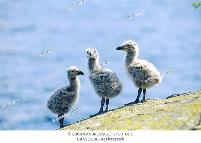 Great Black-backed Gulls ducklings (Larus marinus)