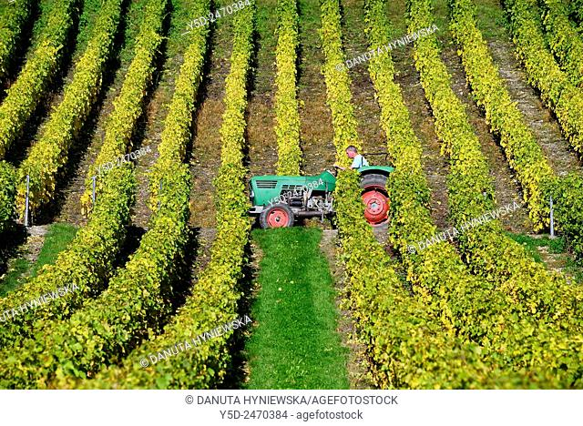 Europe, Switzerland, Canton Vaud, La Côte, Morges district, Féchy vineyards, early autumn close to harvest time