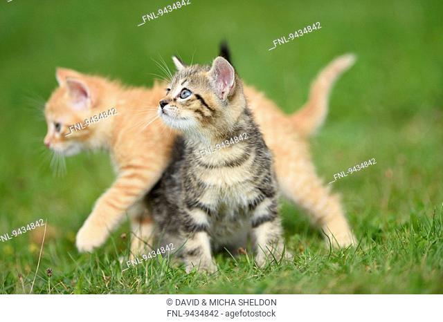 Two domestic cat kitten on a meadow