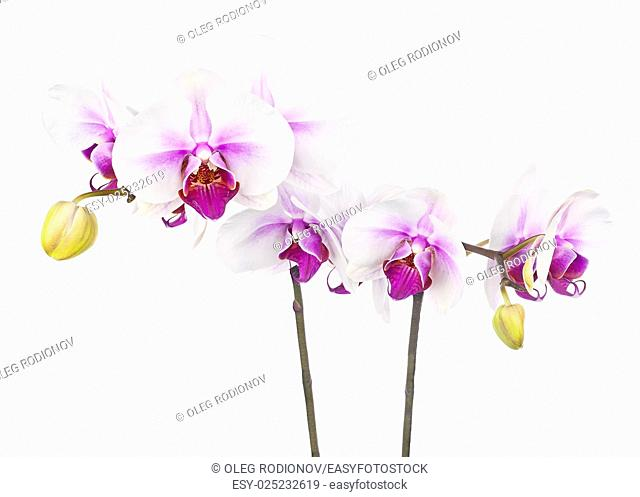 Blooming twig of white purple orchid isolated on white background. Closeup