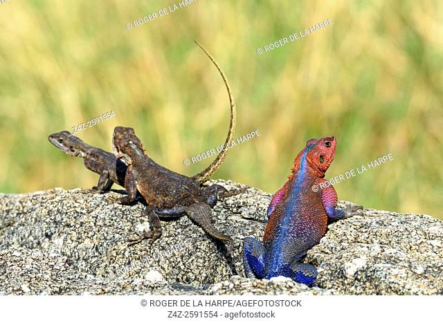 Mwanza flat-headed rock agama or the Spider-Man agama (because of its colouring). (Agama mwanzae) male and females. Serengeti National Park. Tanzania