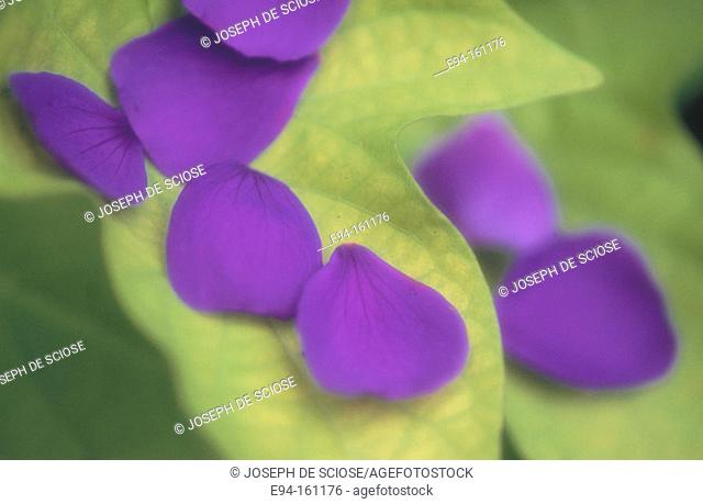 Flower petals of Tibouchina on leaves of Ipomoea plant
