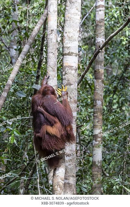 Mother and baby Bornean orangutan, Pongo pygmaeus, at Camp Leakey, Borneo, Indonesia