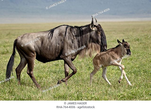 Blue wildebeest (brindled gnu) (Connochaetes taurinus) cow and days-old calf running, Ngorongoro Crater, Tanzania, East Africa, Africa
