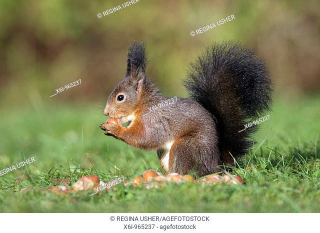 European Red Squirrel Sciurus vulgaris, sitting on garden lawn, eating a hazelnut