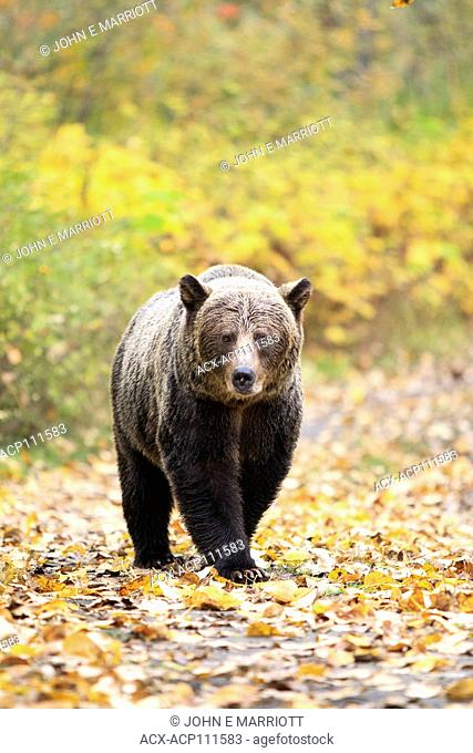Grizzly bear on a logging road in BC