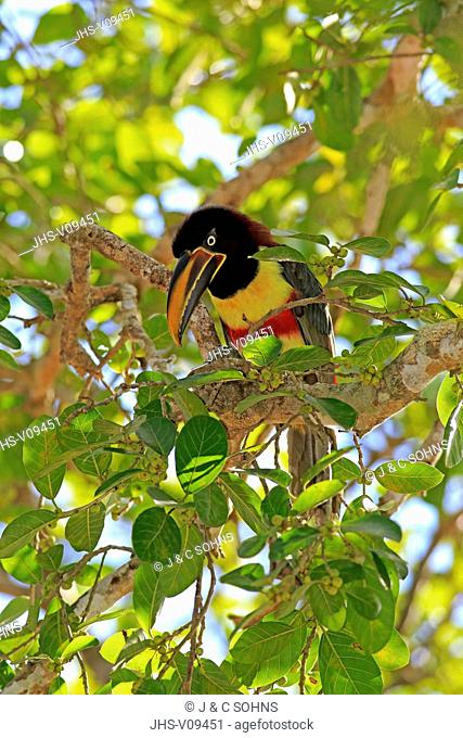 Chestnut-Eared Aracari, (Pteroglossus castanotis), adult on tree, Pantanal, Mato Grosso, Brazil, South America