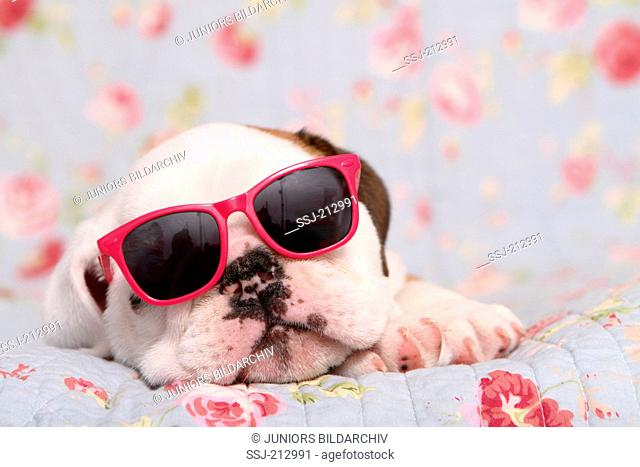 English Bulldog. Puppy (7 weeks old) wearing sunglasses while sleeping on a blue blanket with rose flower print. Germany