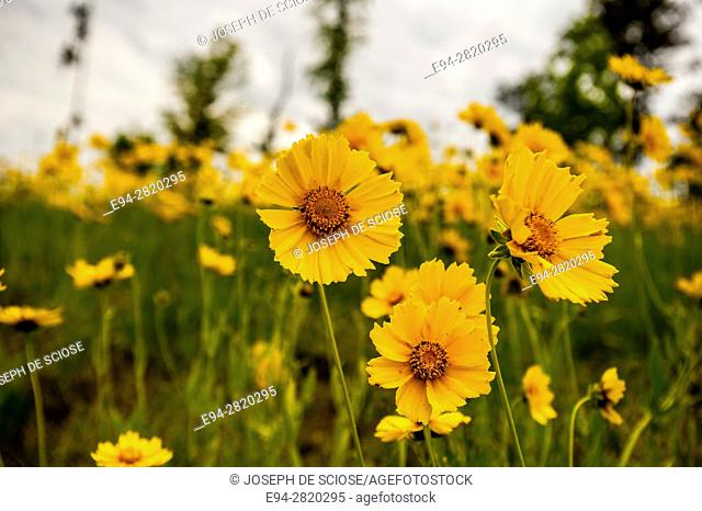 Hillside of Lancelet coreopsis flowers in the spring
