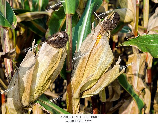corn plants with cobs