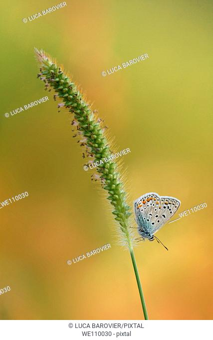 A lycaenidae butterfly, polyommatus icarus, on a ear
