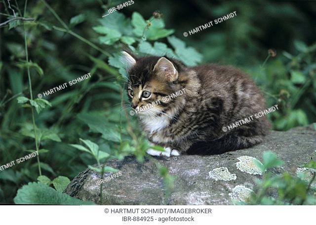 Grey tabby kitten sitting on a stone in a garden