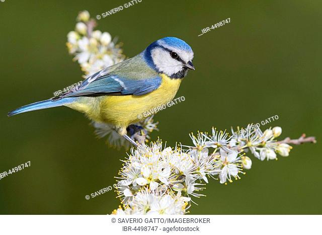 Eurasian Blue Tit (Cyanistes caeruleus), adult perched on a Blackthorn (Prunus spinosa) in bloom, Campania, Italy