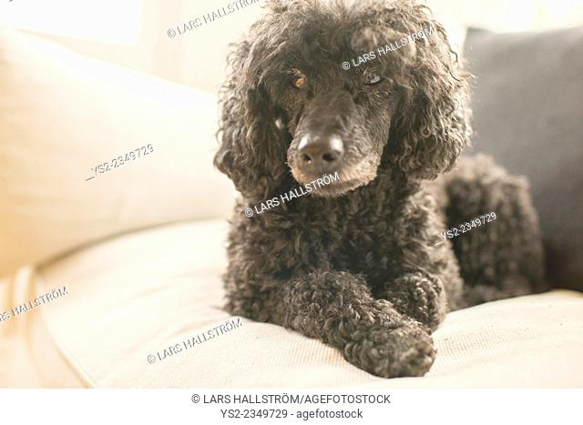 Black poodle lying down and resting on white sofa in bright home living room