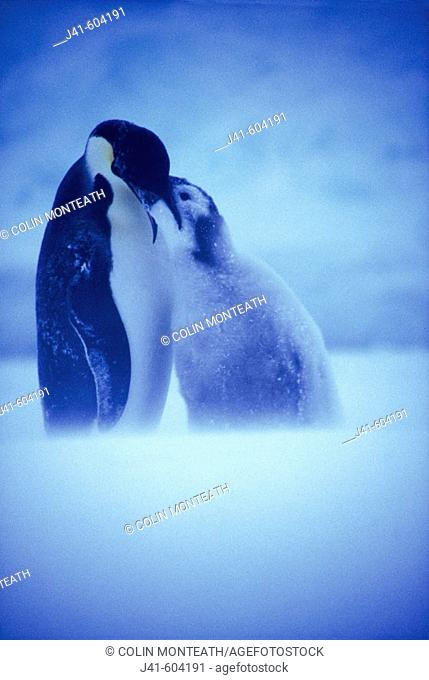Emperor Penguin (Aptenodytes forsteri) feeding chick in a blizzard at Atka Bay colony. Weddell Sea. Antarctica