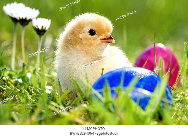 domestic fowl (Gallus gallus f. domestica), chick in a meadow with easter eggs