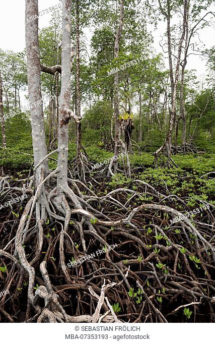 Mangrove forest on a Banyak island