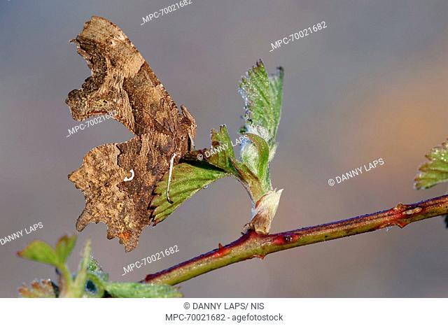 Comma (Polygonia c-album) butterfly on Shrubby Blackberry (Rubus fruticosus), Antwerp, Flanders, Belgium
