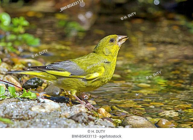 western greenfinch (Carduelis chloris), male drinks at a brook, Germany, Mecklenburg-Western Pomerania