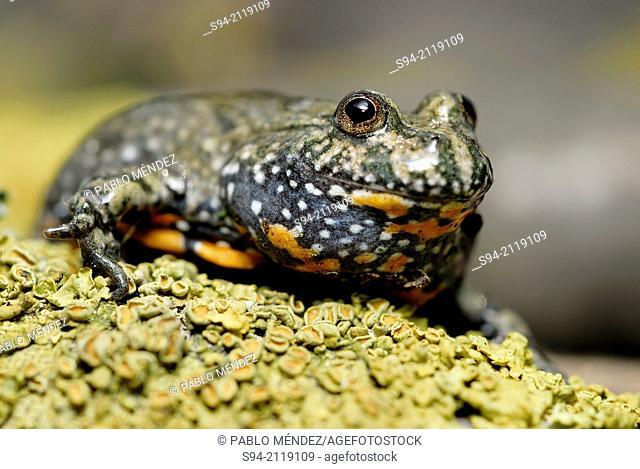 Fire bellied toad (Bombina bombina) in Ciglat, Male Levare area, region of Zahorie, Slovakia