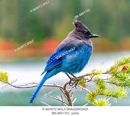 Steller's jay (Cyanocitta stelleri), blue bird sitting on a branch, Mount Rainier National Park, Washington, USA
