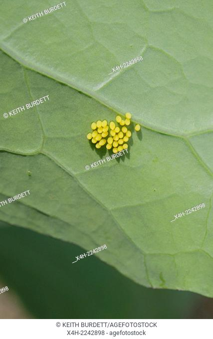 Eggs of Large White or Cabbage White butterfly, Pieris brassicae on the underside of a Brassica leaf, Wales, UK