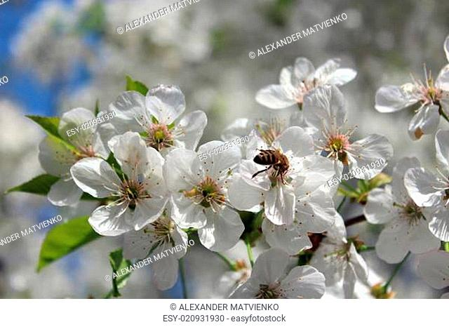bee on the flowers of blossoming cherry